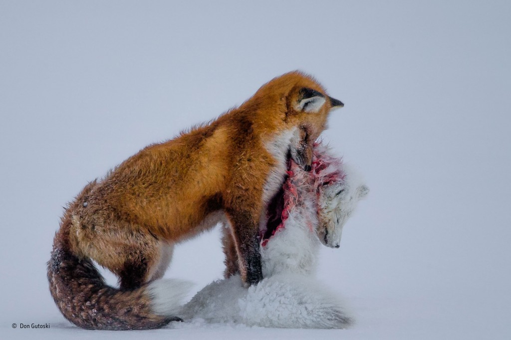 A red fox has attacked and killed its smaller relative, an Arctic fox, and is preparing to hide the remains under the ice to stop polar bears from finding them.