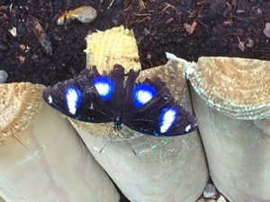 Great eggfly butterfly from S. Asia