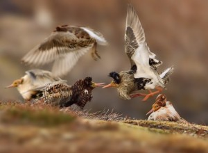 Fighting ruffs © Ondrej Pelánel. Wildlife Photographer of the Year 2015.