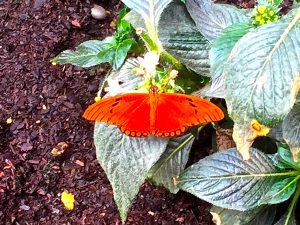 A flame butterfly which can be found in the USA and S. America