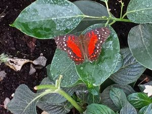 A scarlet peacock butterfly from S. America