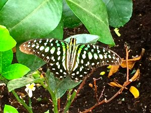 A tailed jay butterfly which originates in S. Asia