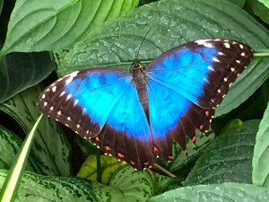 A blue morpho butterfly from South America