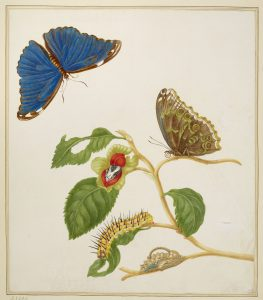 Branch of an unidentified tree with the Menelaus Blue Morpho Butterly, 1702-03. Maria Sibylla Merian. Royal Collection Trust / (C) Her Majesty Queen Elizabeth II 2016.