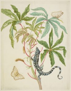 Cassava with White Peacock Butterfly and young Golden Tegu, 1702-03. Maria Sibylla Merian. Royal Collection Trust / (C) Her Majesty Queen Elizabeth II 2016.